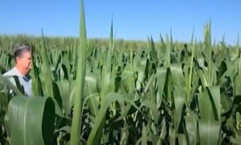Milho: produtor do PR espera por chuvas em maio para minimizar perdas