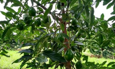 Casal do Norte Pioneiro aposta no abacate como opção de renda