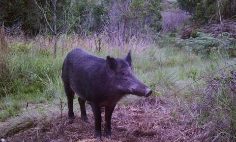 Projetos analisam zoonoses relacionadas a javalis em parques estaduais